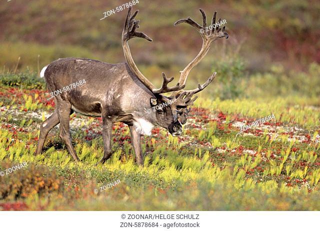 Karibubulle mit Bastgeweih in der herbstlichen Tundra - (Alaskakaribu) / Bull Caribou with velvet antler in indian summer - (Porcupine Caribou - Grants Caribou)...