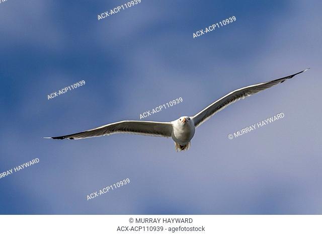 Herring Gull (Larus argentatus) Soaring against a blue sky, Frank Lake, Alberta, Canada