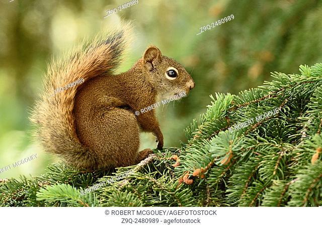 A side view of a wild Red Squirrel Tamiasciurus hudsonicus, sitting on a spruce tree branch in rural Alberta Canada