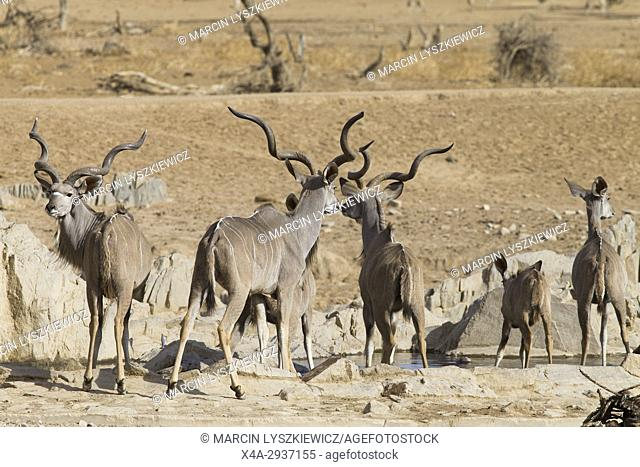 Greater kudu's (Tragelaphus strepsiceros) herd at water hole near Hobatere lodge, Namibia