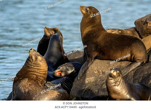 California sea lion (Zalophus californianus) Hauled out on jetty rocks, Newport, Oregon, USA