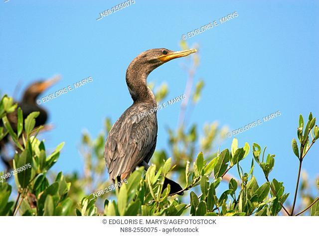 Neotropic cormorant, Laguna de Unare, Venezuela