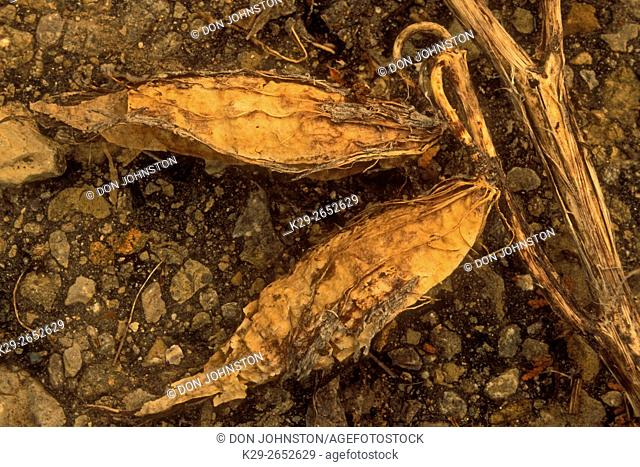 Milkweed (Asclepias syriaca) Decaying seed pods on gravel, Manitoulin Island, Ontario, Canada