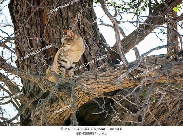 African wildcat (Felis lybica) sitting in tree, Kgalagadi Transfrontier Park, Northern Cape, South Africa