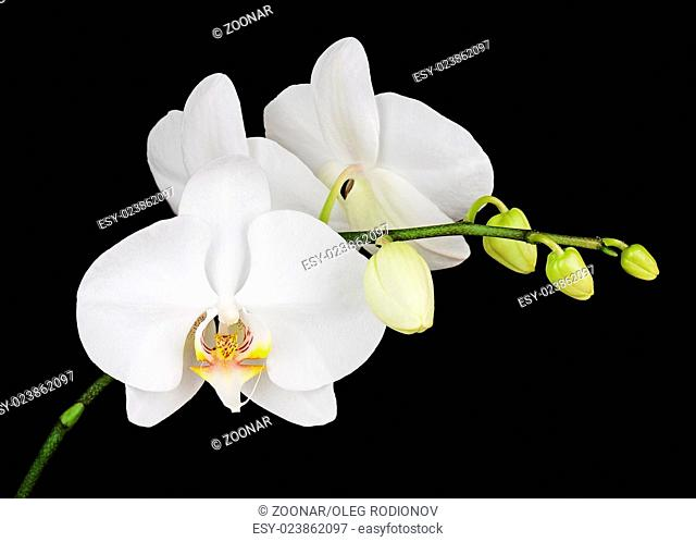 Three day old white orchid on black background