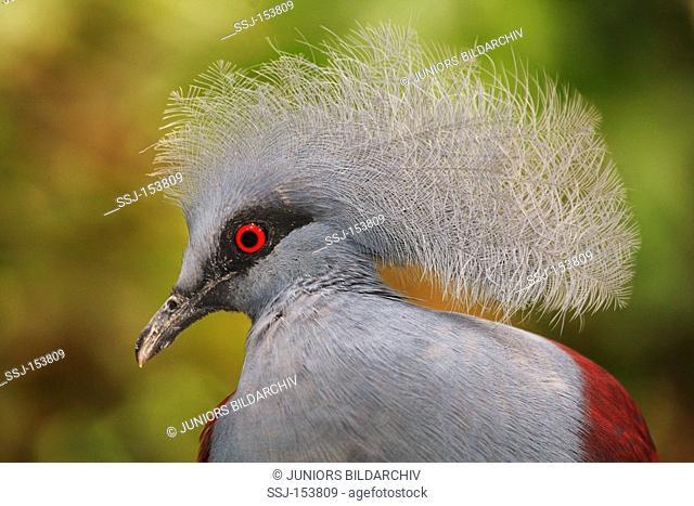 Victoria Crowned Pigeon - portrait / Goura victoria
