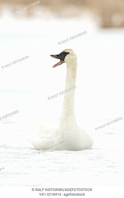 Trumpeter Swan / Trompeterschwan ( Cygnus buccinator ) in winter, sitting on the ice of a frozen river, calling, trumpeting, Grand Teton, Wyoming, USA