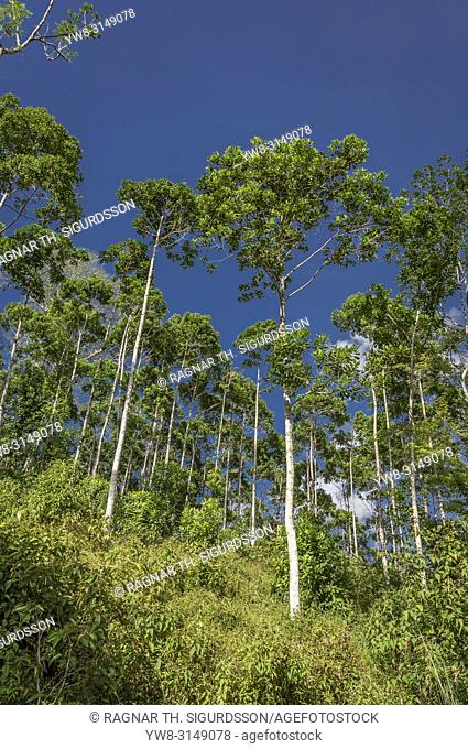 Trees, Costa Rica
