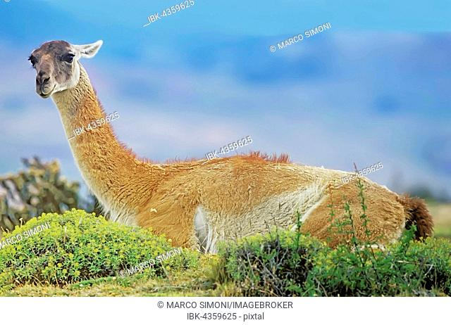 Guanaco (Lama guanicoe), sitting on floor, Torres del Paine National Park, Patagonia, Chile