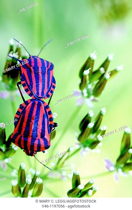 Red and black striped Shield Bug, Graphosoma lineatum mating on dried umbellifer  The striped stink bug can be found on dried plants in scrubland and abandoned...