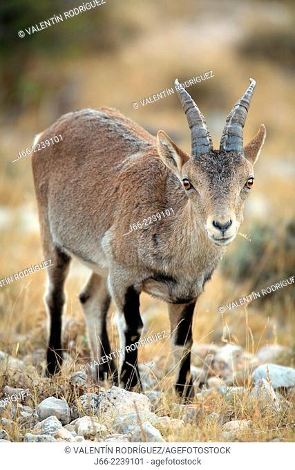 ibex (Capra pyrenaica), young male. Natural Park Els Ports, Horta de San Joan. Tarragona