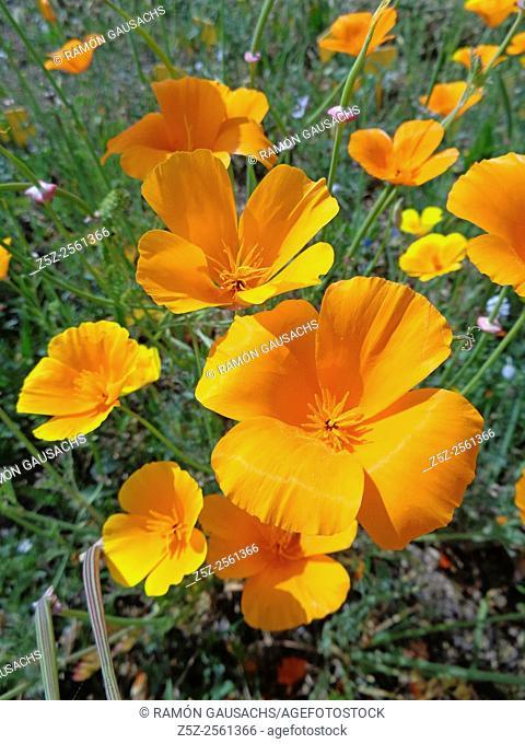 Field poppy , (Eschscholzia californica)