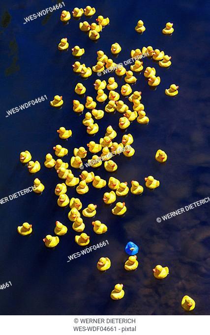 Rubber ducks, one blue duck