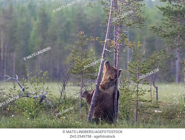 Brown bear, Ursus arctos, Standing on his back legs, scratching his back agains a pine tree, Kuhmo, Finland