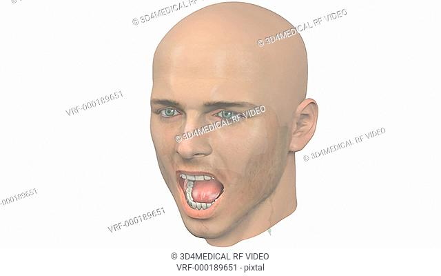 A zoom in on an open mouthed male head which fades revealing the inner anatomy of the lower jaw, tongue and salivary glands