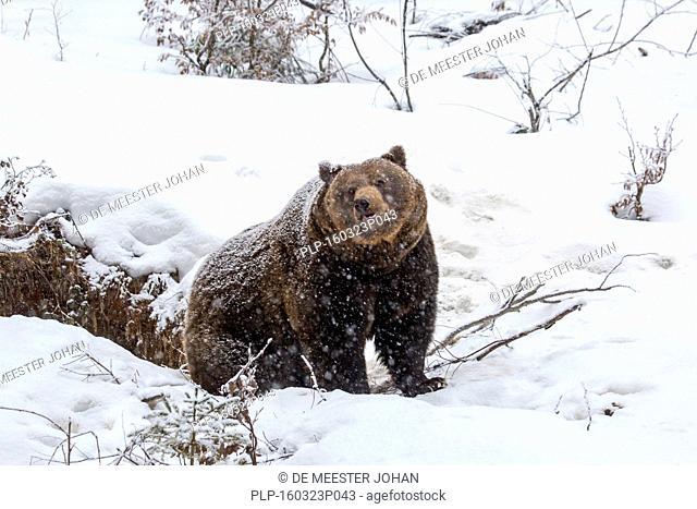 Brown bear (Ursus arctos) leaving den during snow shower in winter / spring