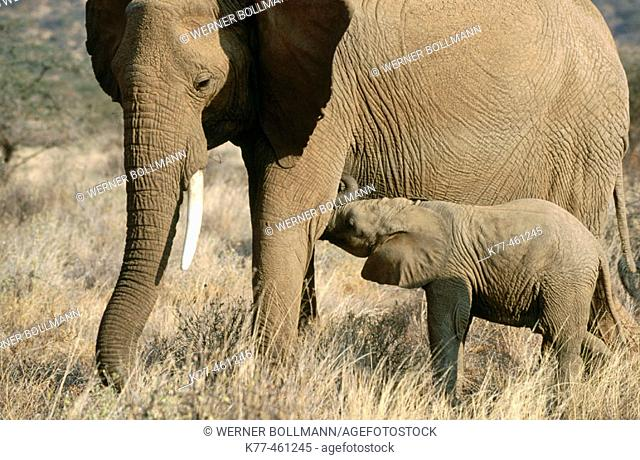 African Elephants (Loxodonta africana), mother suckling calf. Samburu, Kenya