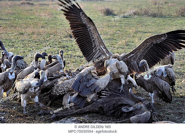 White-backed Vulture (Gyps africanus) group feeding on the carcass of a Blue Wildebeest (Connochaetes taurinus), Lake Ndutu, Serengeti National Park, Tanzania