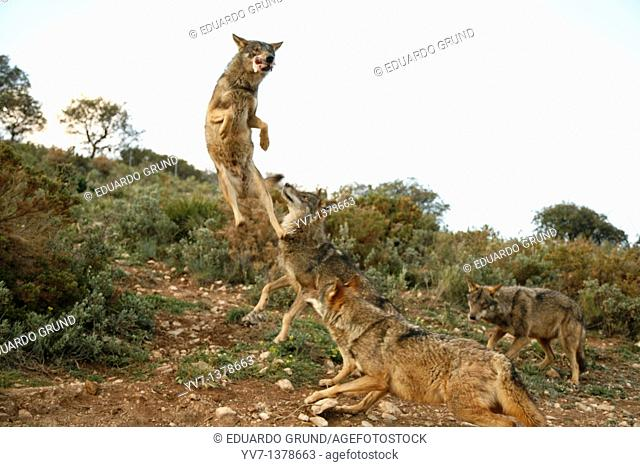 Iberian wolf pack jumping  Wolf park, Antequera, Malaga, Andalusia, Spain