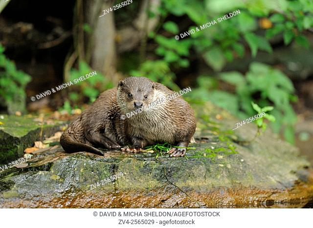 Close-up of a european otter (Lutra lutra) on a stone