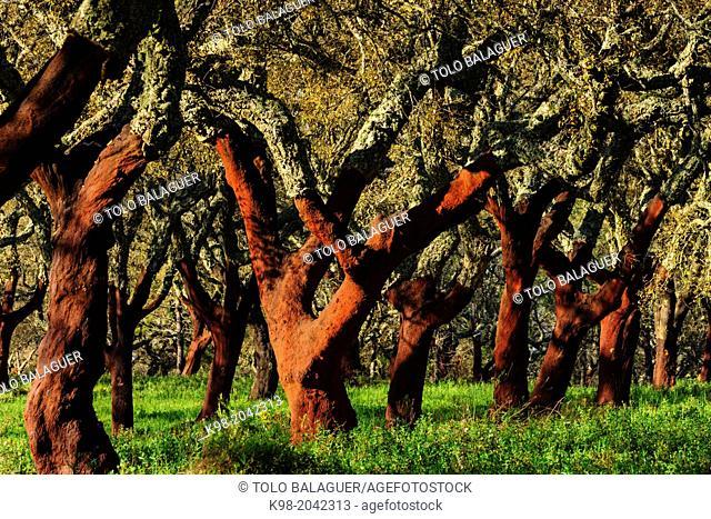 cork uncorked, Quercus suber, Os Almendres, Evora district, Alentejo, Portugal, Europe