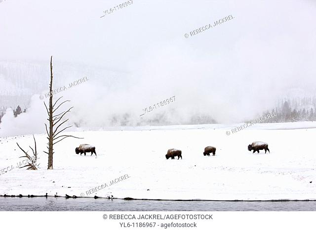 North America, USA, Wyoming, Yellowstone National Park  Bison in the snow