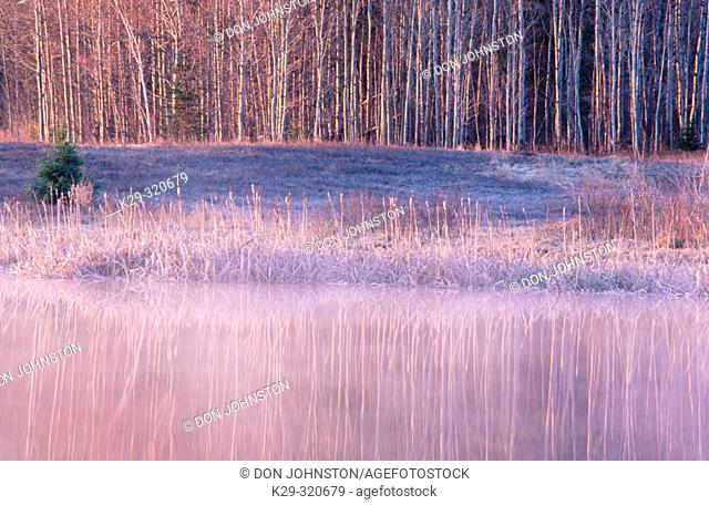 Poplar grove reflected in misty water of pond