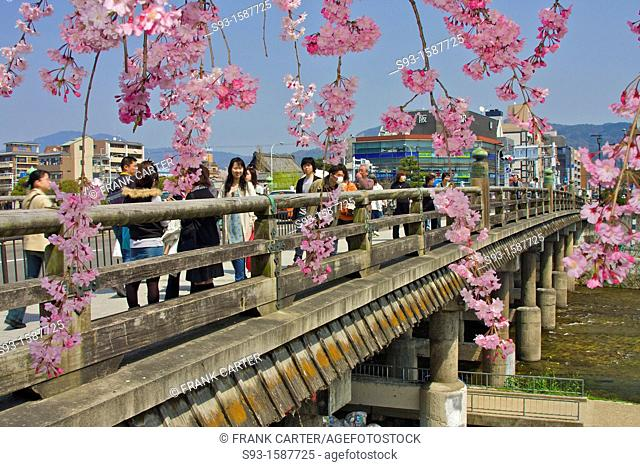 The Sanjo bridge as seen through a cherry blossom tree in full bloom