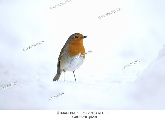 European robin (Erithacus rubecula), standing in snow, Suffolk, England, United Kingdom, Europe