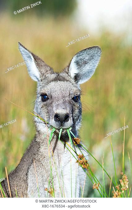 Eastern grey kangaroo Macropus giganteus, it is the second largest living marsupial and one of the icons of Australia The Eastern grey kangaroo is mainly...