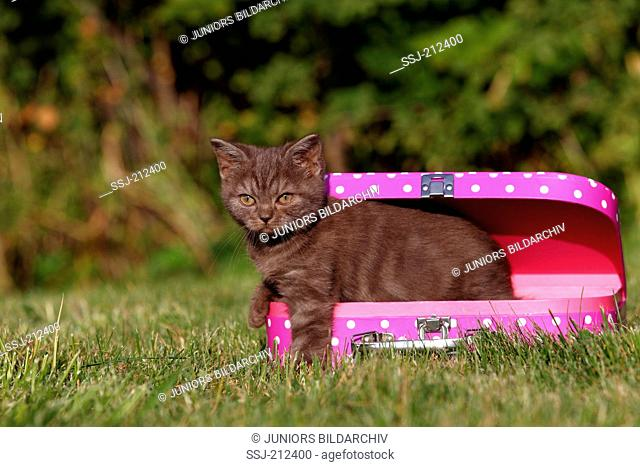 British Shorthair. Brown kitten (8 weeks old) looking out from a suitcase lying on a lawn. Germany