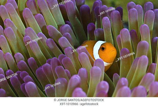 Underwater Life, Found Nemo,Clownfish Amphiprion Percula, Indonesia