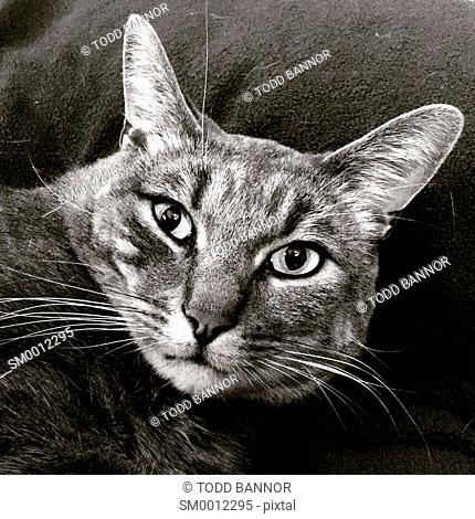 Gray tabby cat, black and white