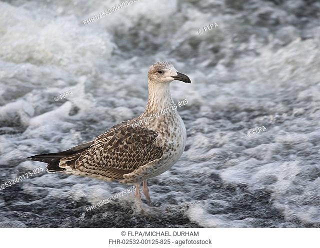 Great Black-backed Gull (Larus marinus) juvenile, standing at edge of fast-flowing river, River Nith, Dumfries and Galloway, Scotland, October