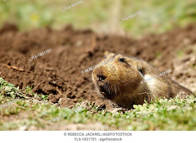 Endemic to the Bale Mountains in Ethiopia, the giant mole rat is the prey of choice for the Ethiopian wolf