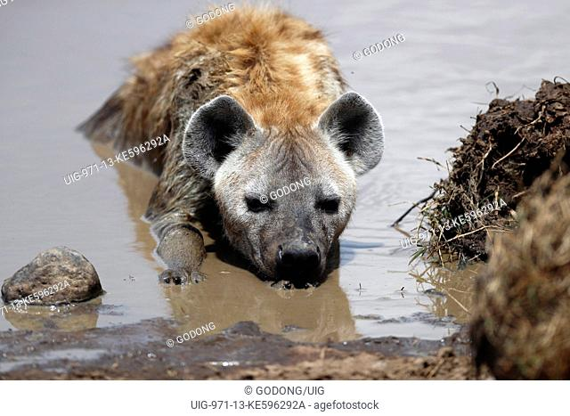 Hyena taking mud bath. Masai Mara game reserve. Kenya