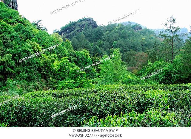 Tea garden in Wuyi Mountain,Fujian province