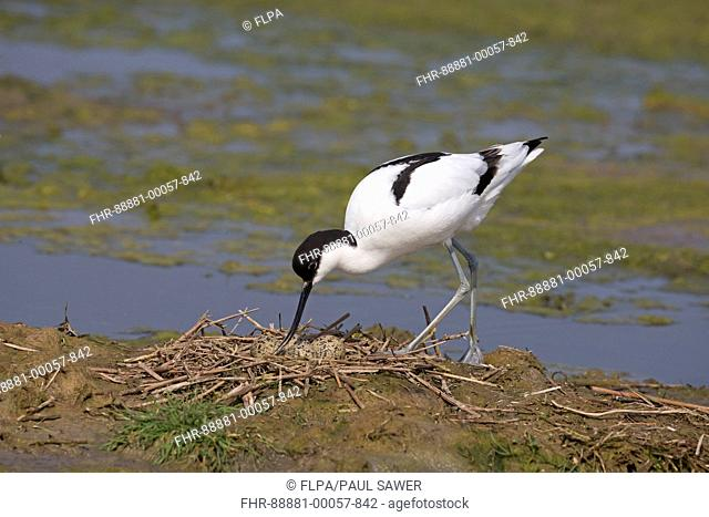 Eurasian Avocet (Recurvirostra avosetta) adult, turning eggs at nest, Suffolk, England, May