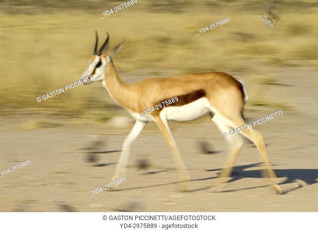 Springbok (Antidorcas marsupialis), Mabuasehube, Kgalagadi Transfrontier Park, Kalahari desert, Botswana