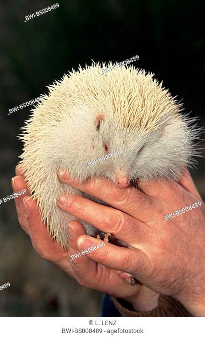 hedgehogs and gymnures (Erinaceidae), albino, on human hand