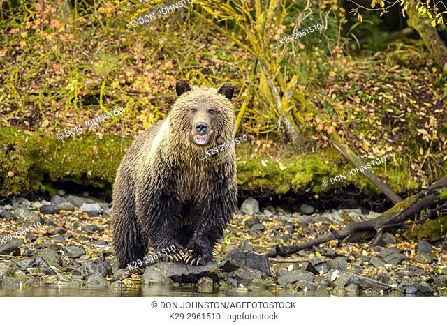 Grizzly bear (Ursus arctos)- Cub on shore of the Chilko River during a salmon run, Chilcotin Wilderness, BC Interior, Canada