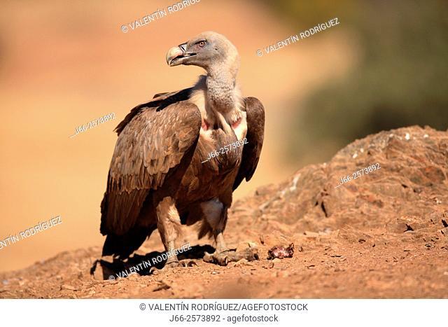 griffon vulture (Gyps fulvus) in Sierra Morena. Córdoba