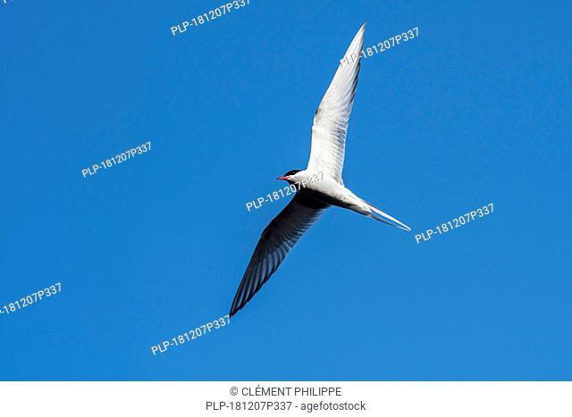 Arctic tern (Sterna paradisaea) in flight, soaring against blue sky, Shetland Islands, Scotland, UK