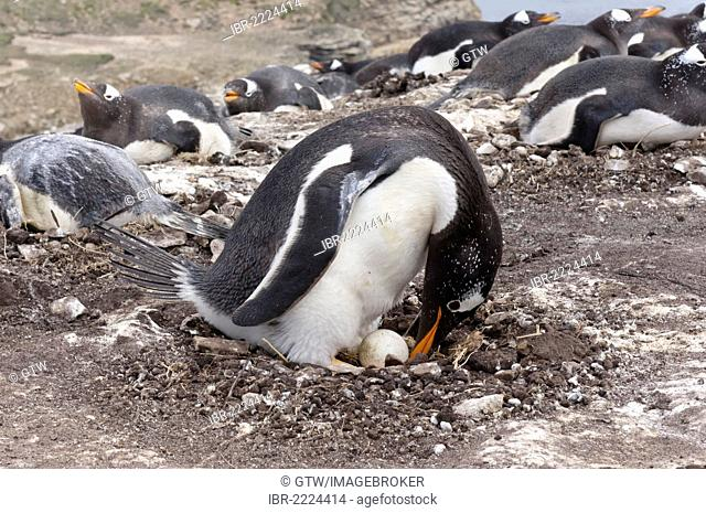 Gentoo penguin (Pygoscelis papua) in the nest with an egg, New Island, Falkland Islands, South America