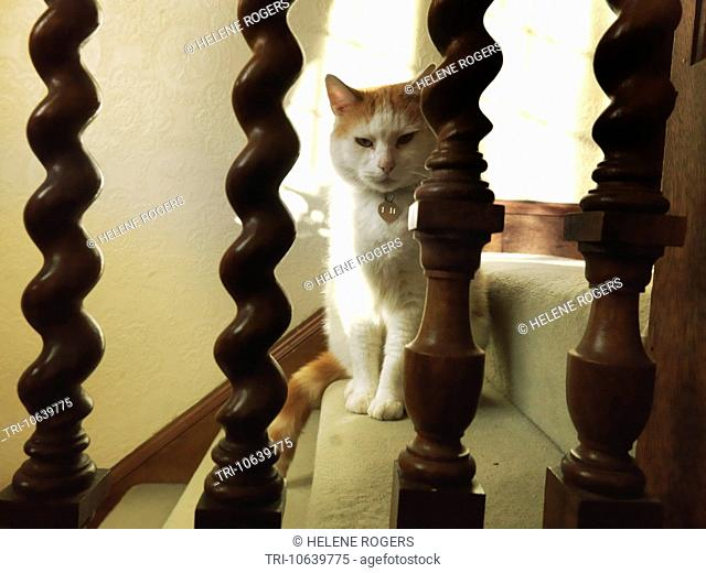 White And Ginger Tom Cat Looking Through Banisters On Stairs