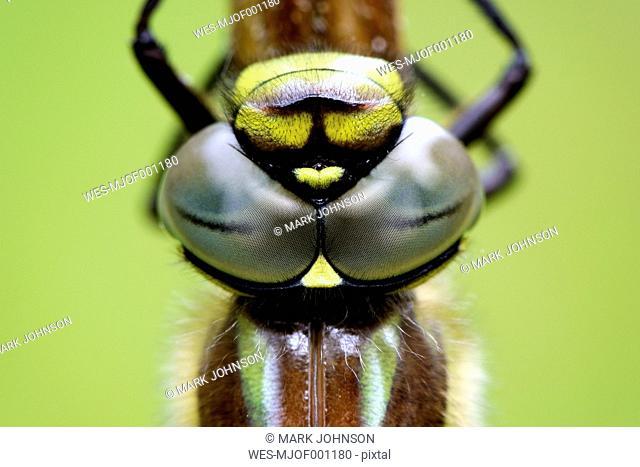 Eyes of Hairy dragonfly
