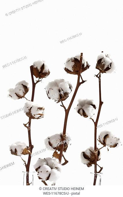Cotton plant Gossypium, close-up