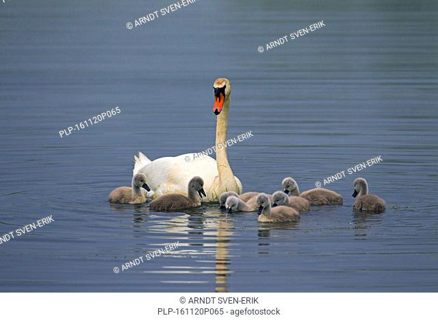 Mute swan (Cygnus olor) with young / cygnets feeding in lake in spring