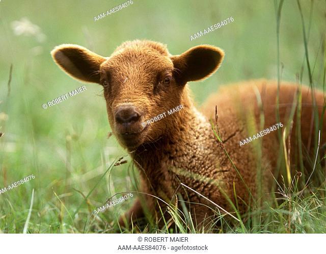 Young Swiss sheep, Jura, Switzerland