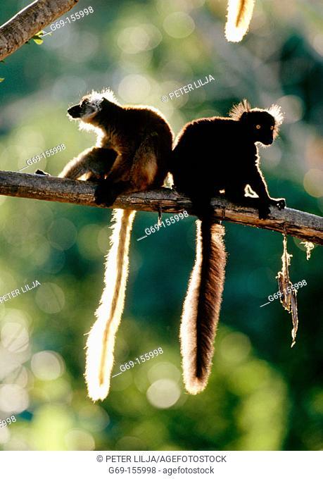 Black lemurs (Eulemur macaco macaco). Nosy Komba. Madagascar